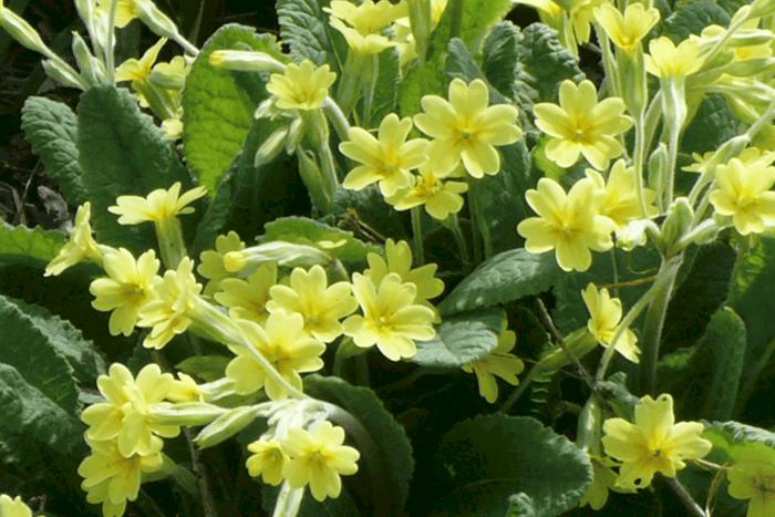 Old Fashioned Primrose Plants