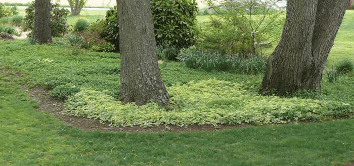 Sweet Woodruff Organic Gardening with a common sense approach