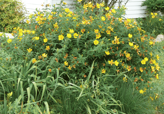 Yellow Blooming Bushes 28 Images Shrubs With Yellow