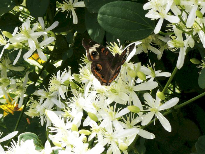 Clematis Paniculata Propagation Clematis Paniculata Sweet