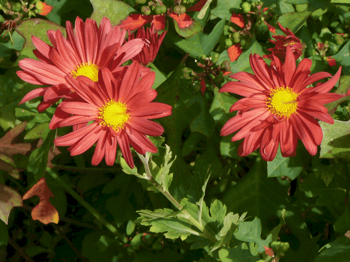 Red daisy mums with yellow centers.