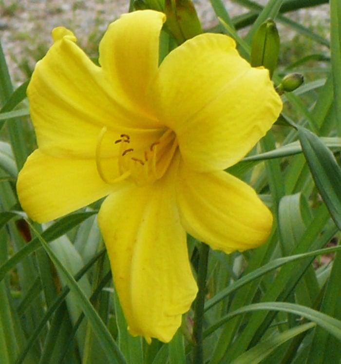 Your gardens perennial flowers midspring bloom tending my lady mightylinksfo