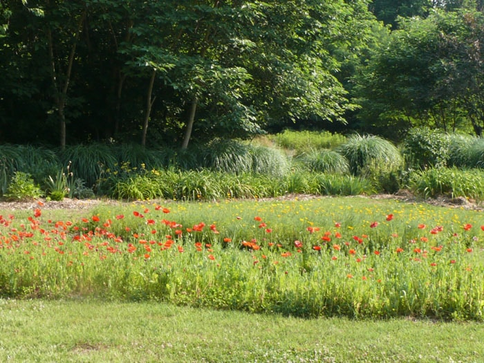 Island bed of red poppies in foreground. The yellow/orange California ...
