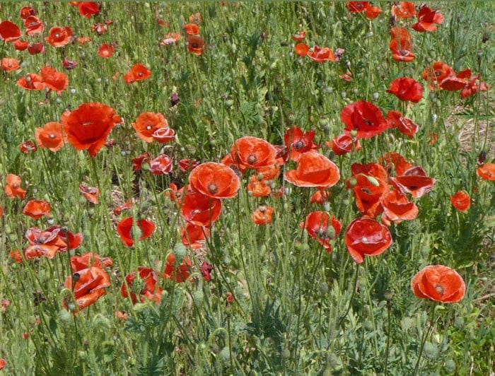 Wildflower Garden Ideas wildflower garden design Red