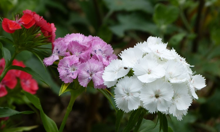 Wildflower sweet william great in flower borders tending my red pink and pure white sweet william mightylinksfo