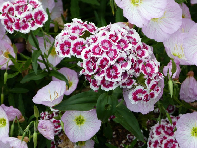 Wildflower sweet william great in flower borders tending my white and red sweet william mightylinksfo