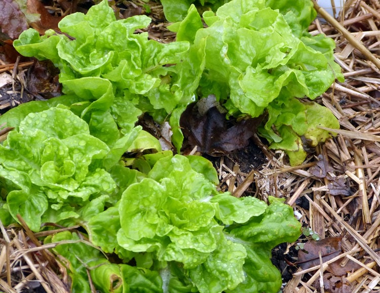 Lettuce - no covers and picked bare.
