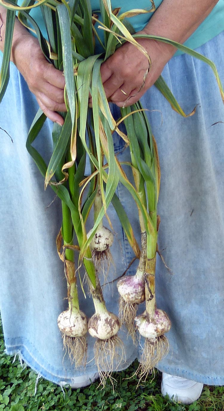 3 varieties of garlic just harvest - from left to right - Music, German Extra Hardy, Italien soft neck