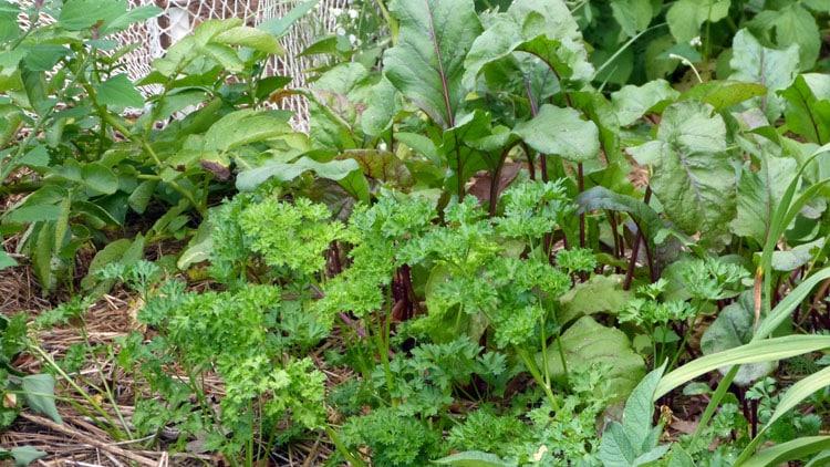 Volunteer potato, parsley and beets.