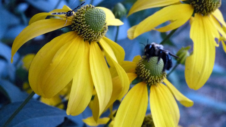 Giant Rudbeckia blossoms with beneficials