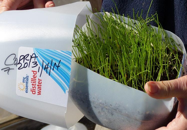 copra seedling