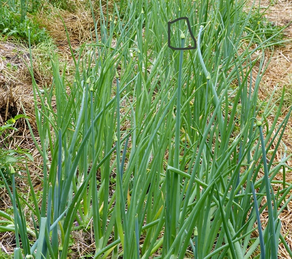 Onions prematurely setting seed heads.