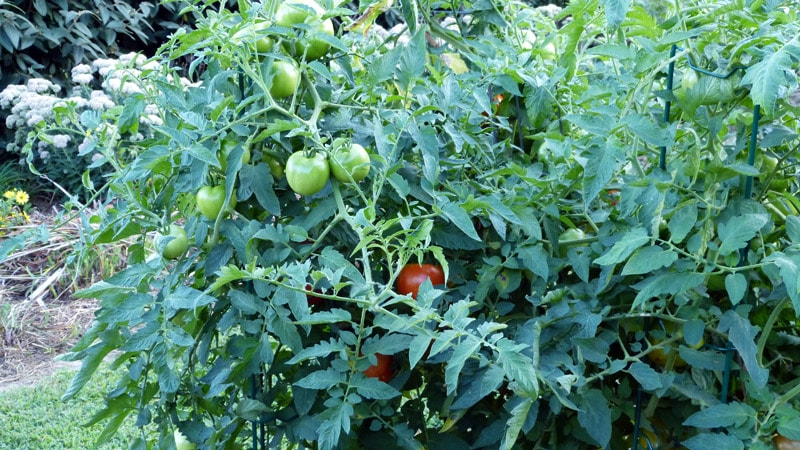 Regular tomatoes. This one plant has already produced well over 150 tomatoes with no blossom end rot.