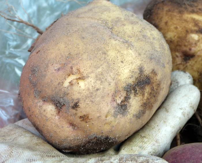 Yukon Gold produced from Wood Prairie seed potatoe just uncovered.