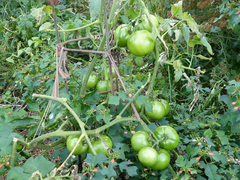 Great looking tomatoes and they've been delicious. But vines are almost bear now. I don't ever remember tomatoes looking like this in my garden, even this late in the season.
