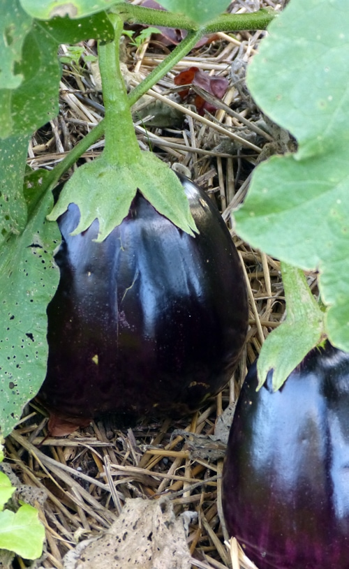 The Black Beauty Eggplants have been especially beautiful this year. The Black Beauty Eggplants have been especially beautiful this year.