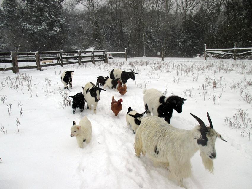 Betty's goats - Persimmon Ridge Honey Farm