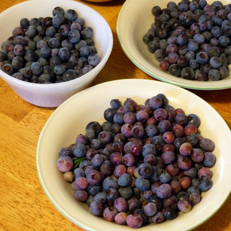 3 pickings of blueberries