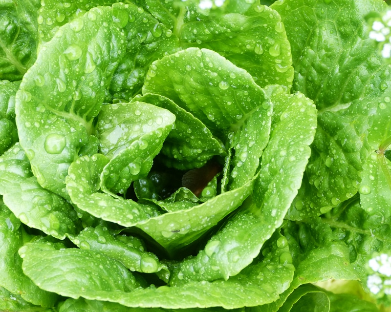 Young Winter Density lettuce