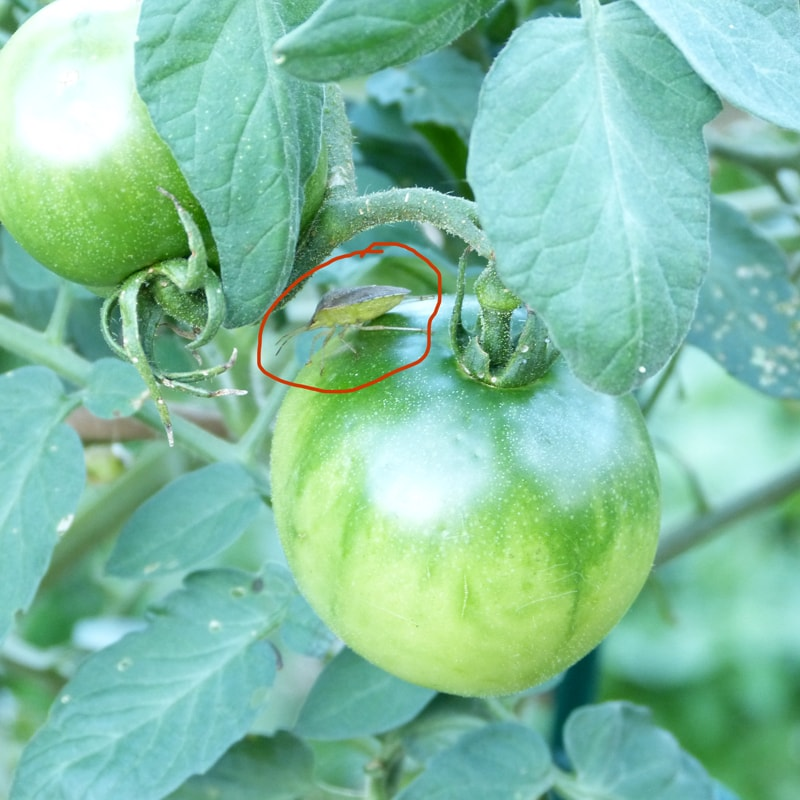 Stink bug on tomato in September.
