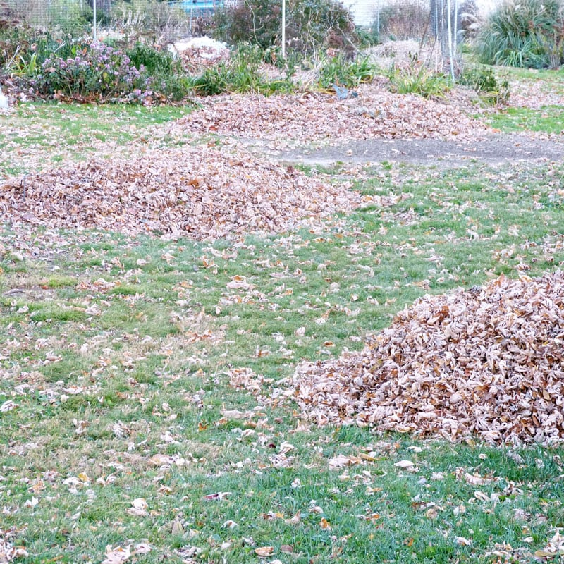 Piles of leaves waiting for me.