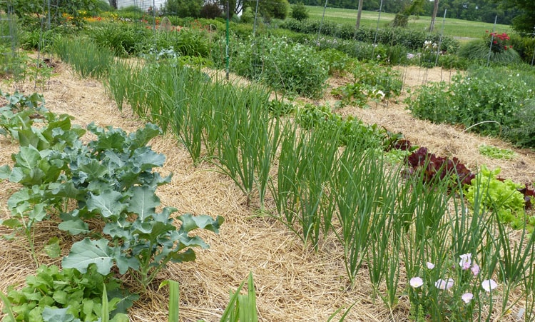 This is what the onions transplant look like in May. They've had plenty of time to grow.
