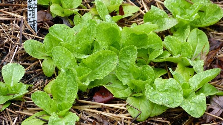 new lettuce