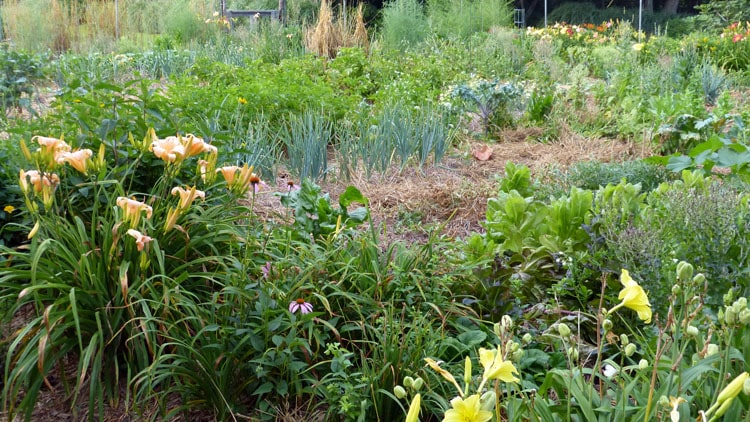 You can see lettuce in various stages, chard, kale, onions, potatoes, asparagus, squash. Upright straw stalks at end of garden (top middle of picture) remains after harvesting rye seed.