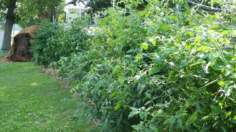 4 tomatoes plants - planted in the stubble of winter rye outside the garden fence. The plants are giagantic!