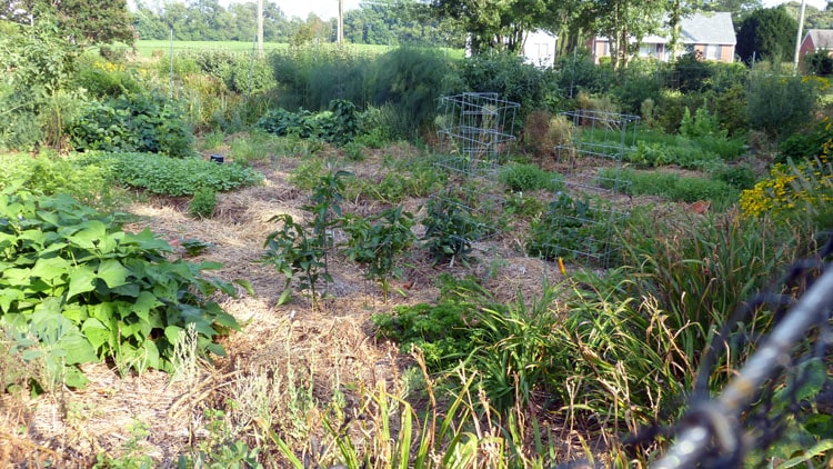 The garden from almost the upper corner looking to the lower opposite corner. Beans, cultivated dandelion, opal basil, asparagus, tomatoes, limas, snap beans, pepper, buckwheat, oats, carrots,lettuce still eatable, lettuce going to seed, blue berry bushes, seedlings of kale, arugula, a few other things, sedums and heliopsis (at the right hand top corner of the picture). (Shown close up in the picture below this one.)