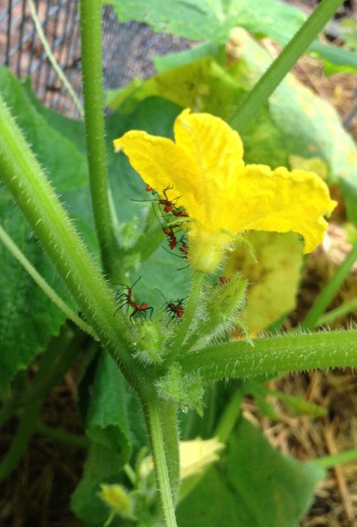 Leaf Footed bug nymphs