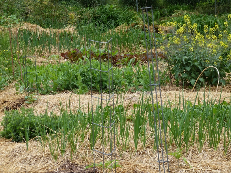 The yellow blooming plantings on the right hand side are two Russian Kale plants setting seed. Picture was taken in the spring of 2012.