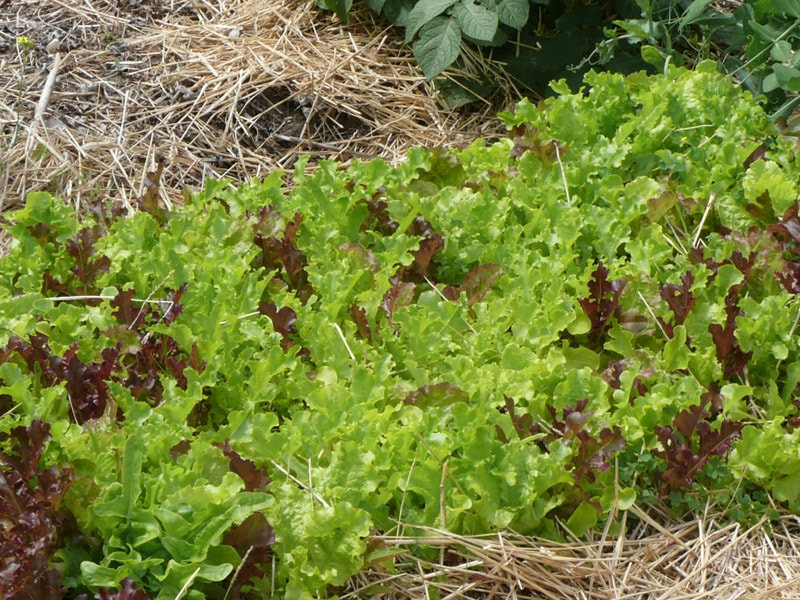 Blackseeded Simpson directly sown into the garden with a few stray seeds of outredgeous red lettuce. If you get right down to it, this planting is just too thick, but black seeded simpson doesn't seem to object. The outredgeous red does. It eventually died out.