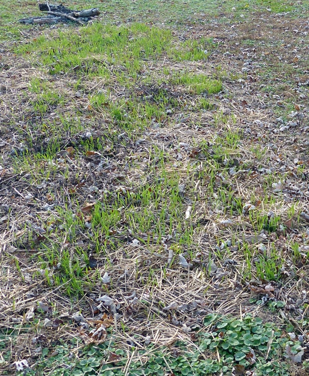 November 21, 2013 winter rye is just coming up in new ground