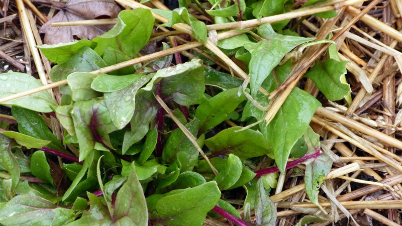 Still harvesting on March 30, 2014 after all that cold. I had thought it was a baby chard but it turned out to be Bordeaux spinach.
