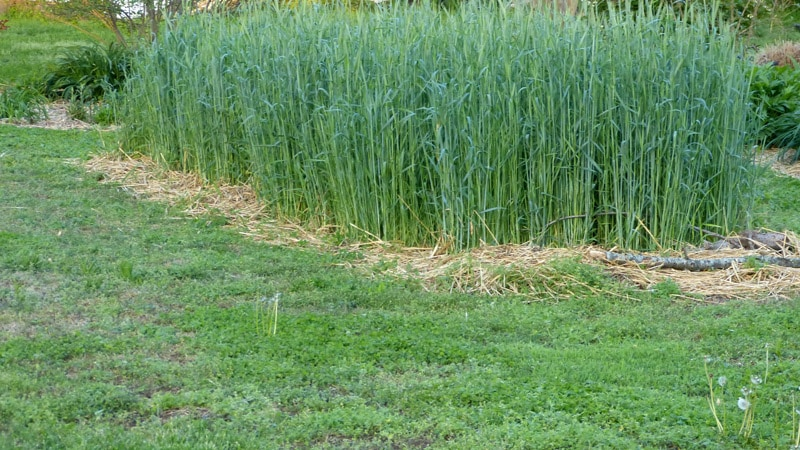 Winter rye in new bed on May 2, 2014.