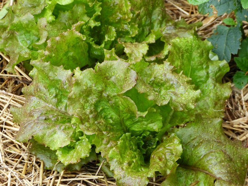 Young red sails lettuce.
