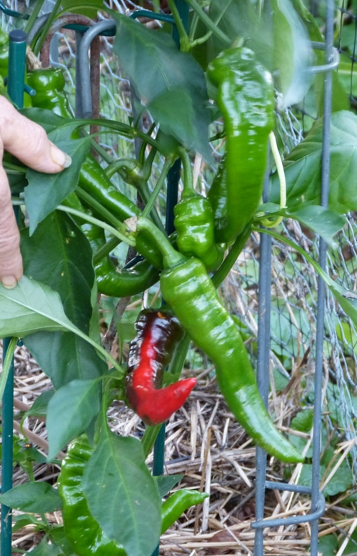 Jimmy Nardello peppers Aug 22