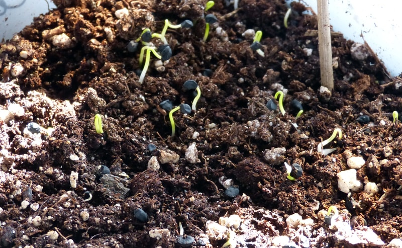 These onion seedling were ready to go outside 2 or 3 days ago. I'll give them some protection under the cold frame until they adjust. (It's going to be very windy today and that would be hard on them without a bit protection since I'm late putting them out.)
