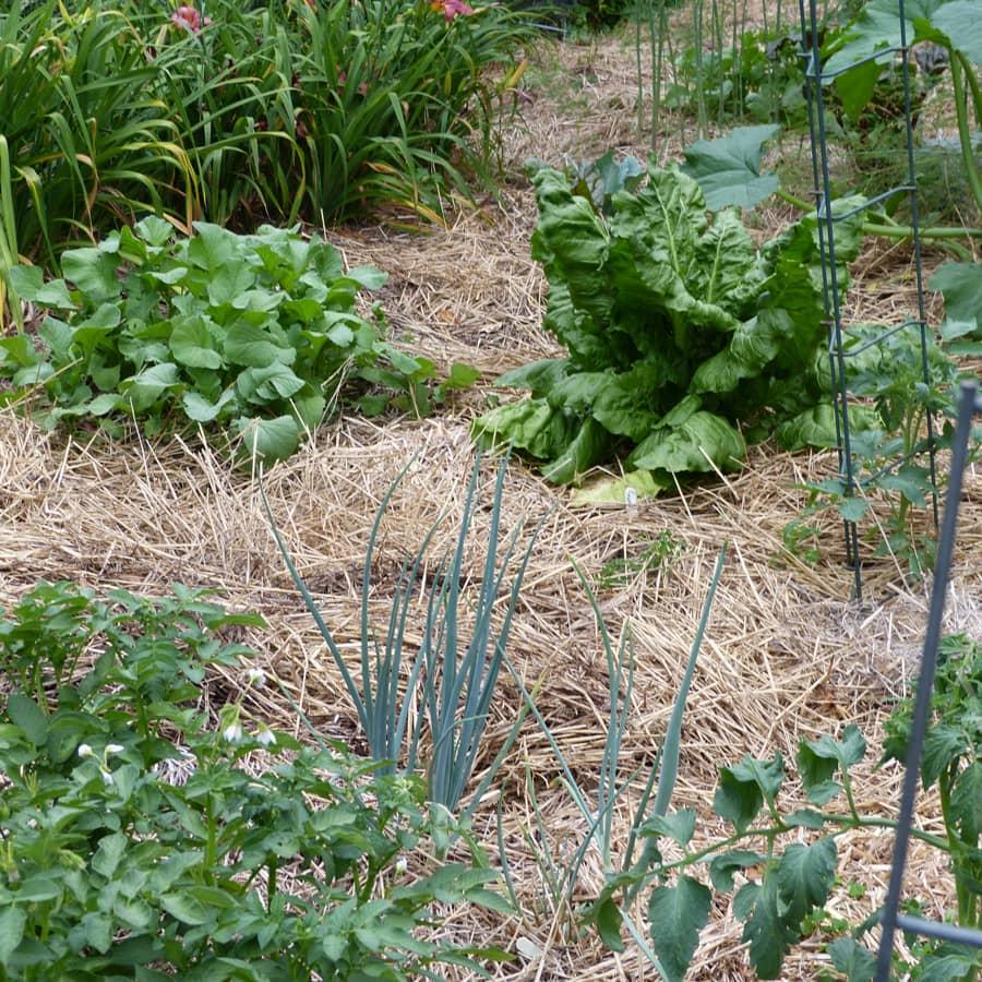 Patch of radishes, chard, potato onion, potato