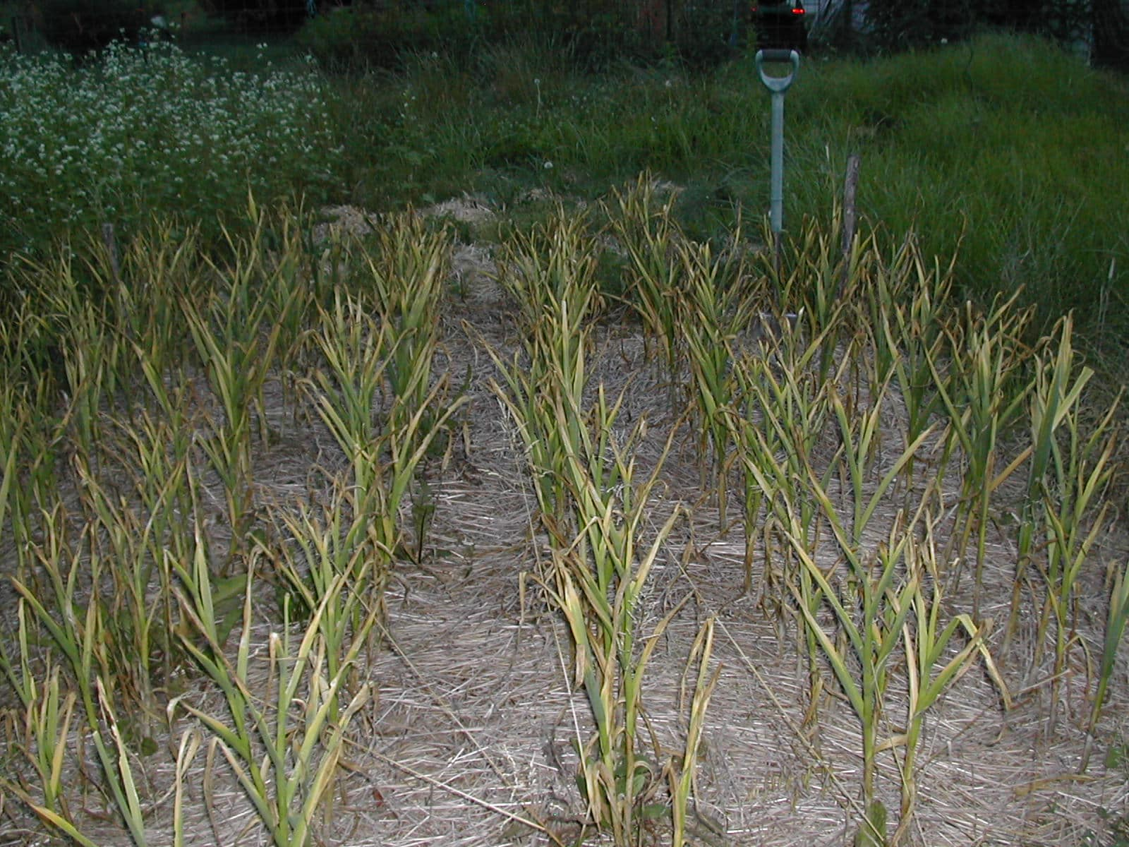 Garlic in the mulched field before harvest.