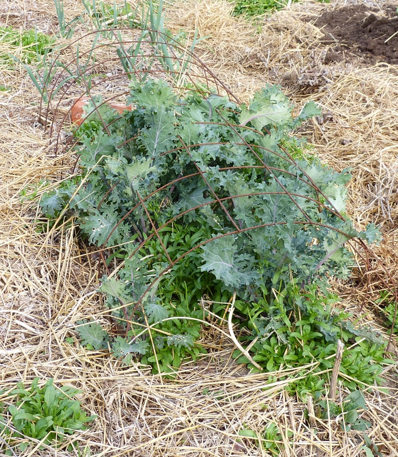 Overwintered Russian Kale About 1 foot tall.