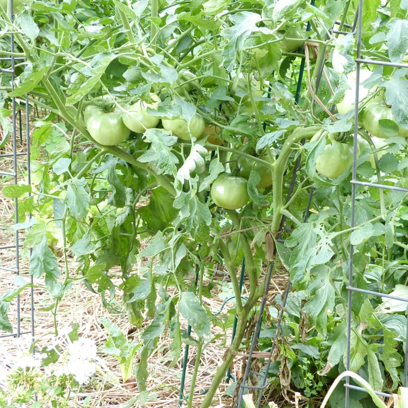 After these tomatoes ripened and were harvested in August, I didn't have ANY tomatoes on the plants. But not they're starting to make fruit again.