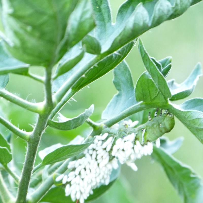 Hornworm with cocoons of braconid wasp.
