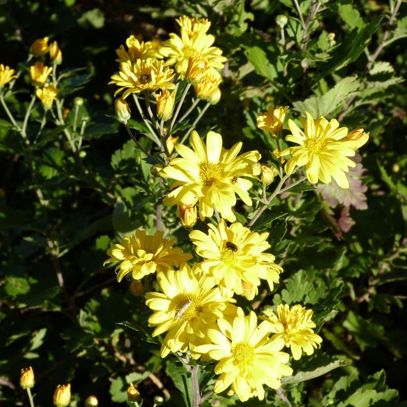 My favorite yellow mums starting to bloom October 23.