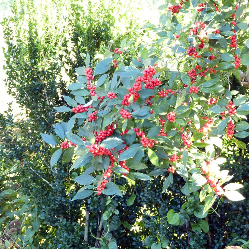 Ilex heavy with berries for winter.