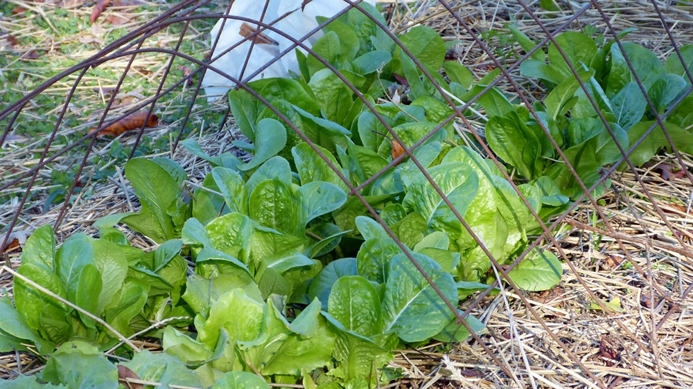 winter garden crops